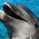 Lumba Lumba Sempat Keluarkan Air Mata, Rapala Natuna Tolong Ikan Penyelamat Di Pulau Akar