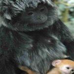 Selain Mitos Gajah Mina Ternyata Spesies Primata Kekah dan Lutung Ada di Natuna